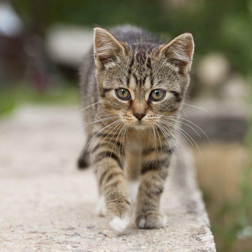 Gatto che cammina sul bordo di un muro.