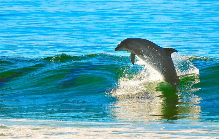 Delfino che salta fuori dalle onde.