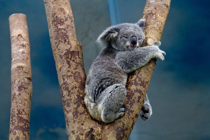 Koala abbracciato ad un albero